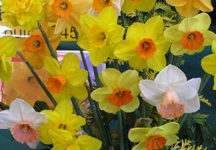 Mixed Daffodils - 100 bulbs $65 50 bulbs $40