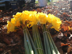 Shop open July to early October - Daffodils $6 a bunch $10 for 2 bunches$20 for 5 bunches  ******Pay by cash or internet banking